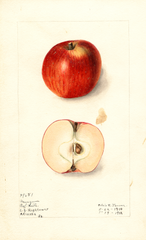 Apples, Mangum (1911)