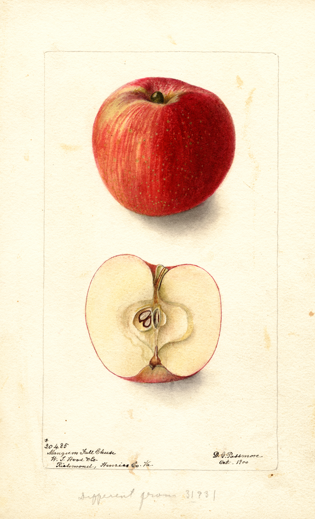Apples, Mangum Fall Cheese (1900)