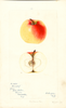 Apples, Borsdorf (1897)