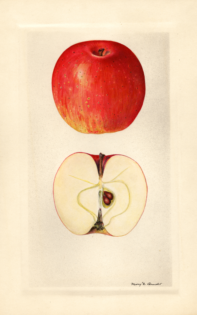 Apples, Bentley Sweet (1929)
