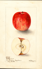 Apples, Bentley Sweet (1904)
