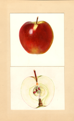 Apples, Professor C.p. Close Seedling