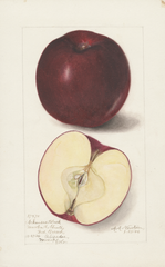 Apples, Arkansas Black (1906)