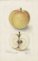 Apples, Arnold Beauty (1905)