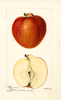 Apples, Barty (sweet) (1895)