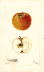 Apples, Canada Red Russet (1901)