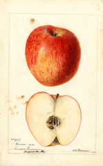 Apples, Cannon (1893)