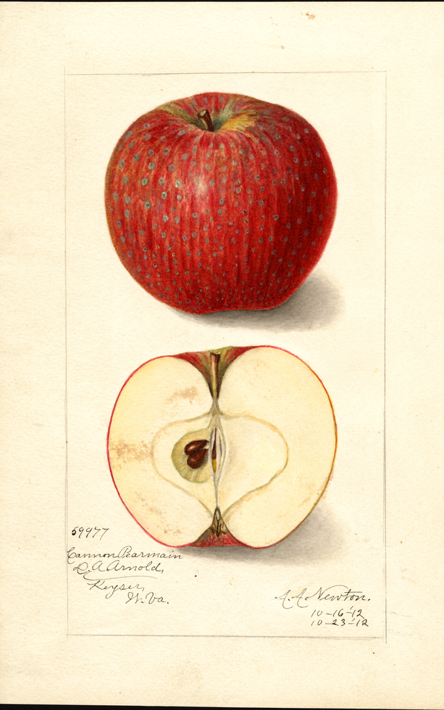 Apples, Cannon Pearmain (1912)