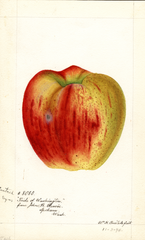 Apples, Cantrel (1894)