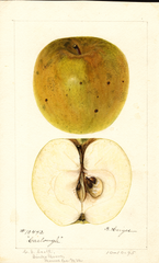 Apples, Carlough (1895)