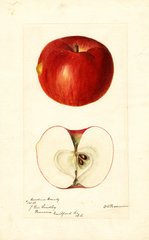 Apples, Carolina Beauty (1895)