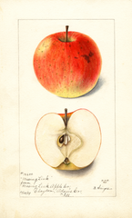 Apples, Missing Link (1899)