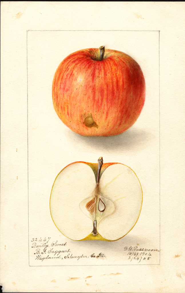 Apples, Bentley Sweet (1905)