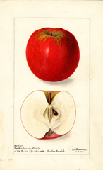 Apples, Benton Beauty (1900)
