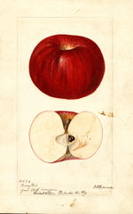 Apples, Berry Red (1896)