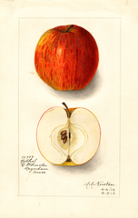 Apples, Bethel (1912)