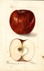 Apples, Bethel (1901)