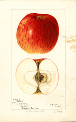 Apples, Bethel (1897)