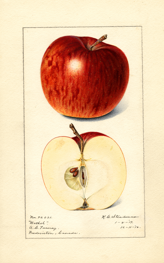 Apples, Bethel (1917)