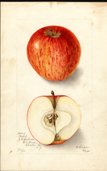Apples, Bethel (1905)