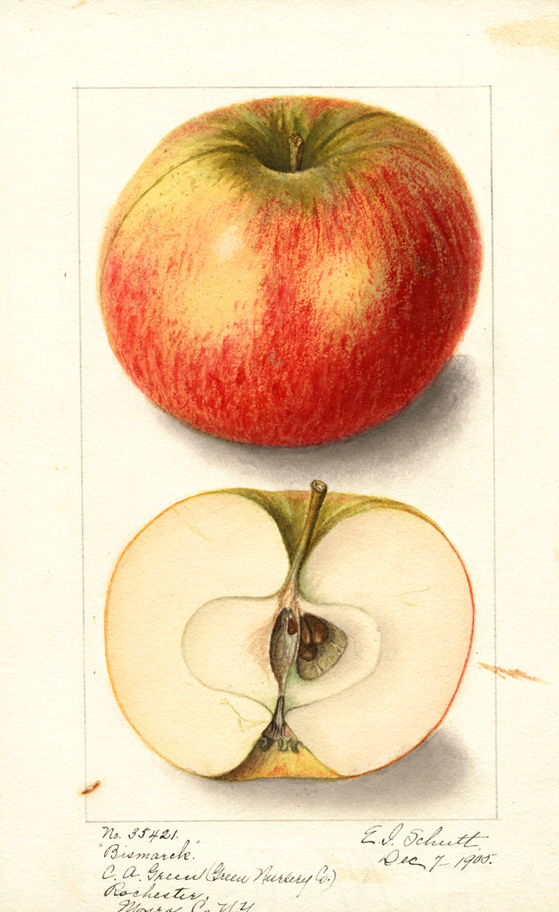 Apples, Bismarck (1905)