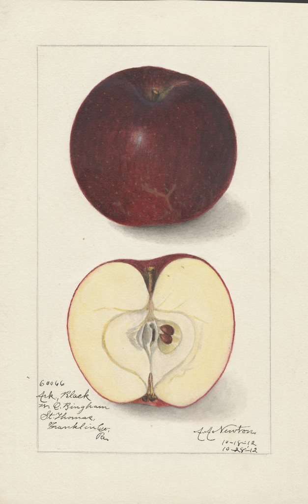 Apples, Arkansas Black (1912)