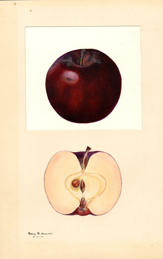 Apples, Black Winesap (1932)