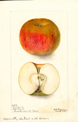 Apples, Cleveland (1901)
