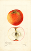 Apples, Blenheim Pippin (1901)