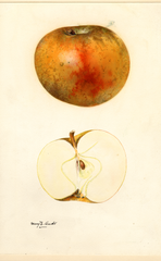Apples, Blenheim Orange (1931)