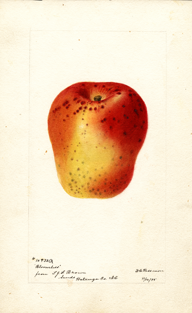 Apples, Bloomless (1895)