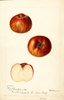 Apples, Bloomless (1893)