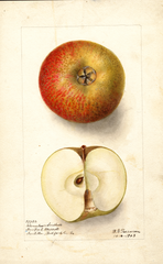 Apples, Bloomless Seedless (1903)