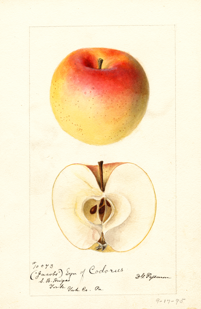 Apples, Jacobs (1895)