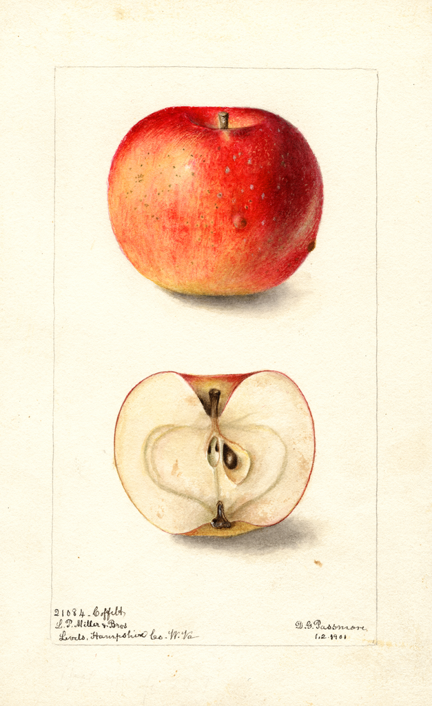 Apples, Coffelt (1901)