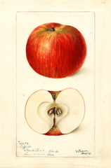 Apples, Coffelt (1898)