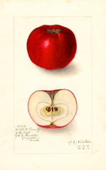 Apples, Coffelt Beauty (1911)