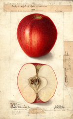 Apples, Coffman (1904)
