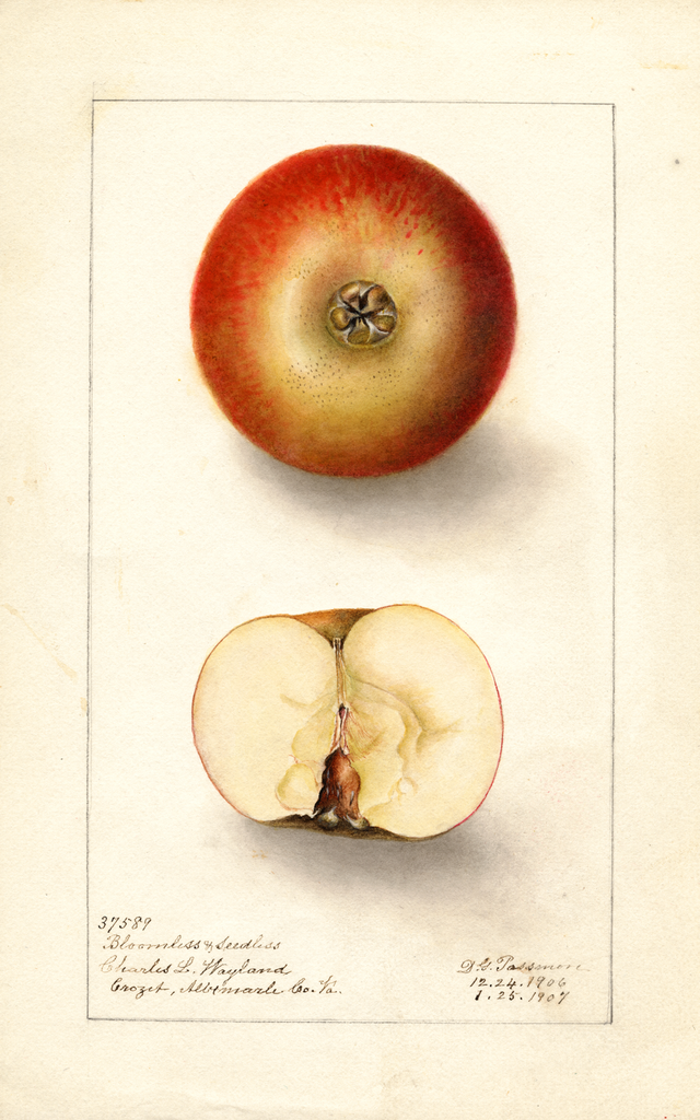 Apples, Bloomless Seedless (1907)