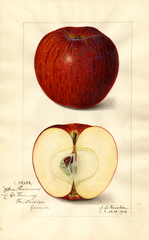 Apples, Blue Pearmain (1916)
