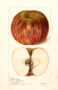 Apples, Granny Buff (1898)