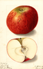 Apples, Buff (1905)