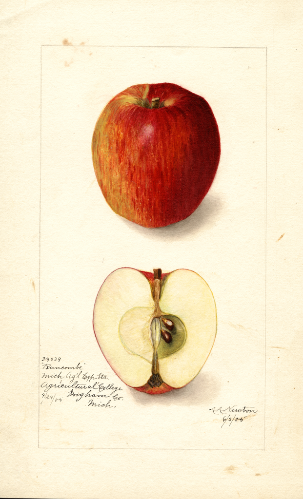 Apples, Buncombe (1905)