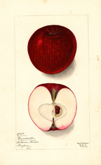 Apples, Buncombe (1912)
