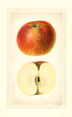 Apples, Brilliant (1925)