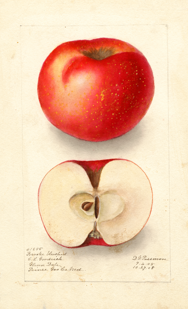 Apples, Brooke Blushed (1908)