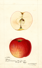 Apples, Conner (1894)