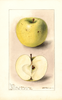 Apples, Cook (1898)