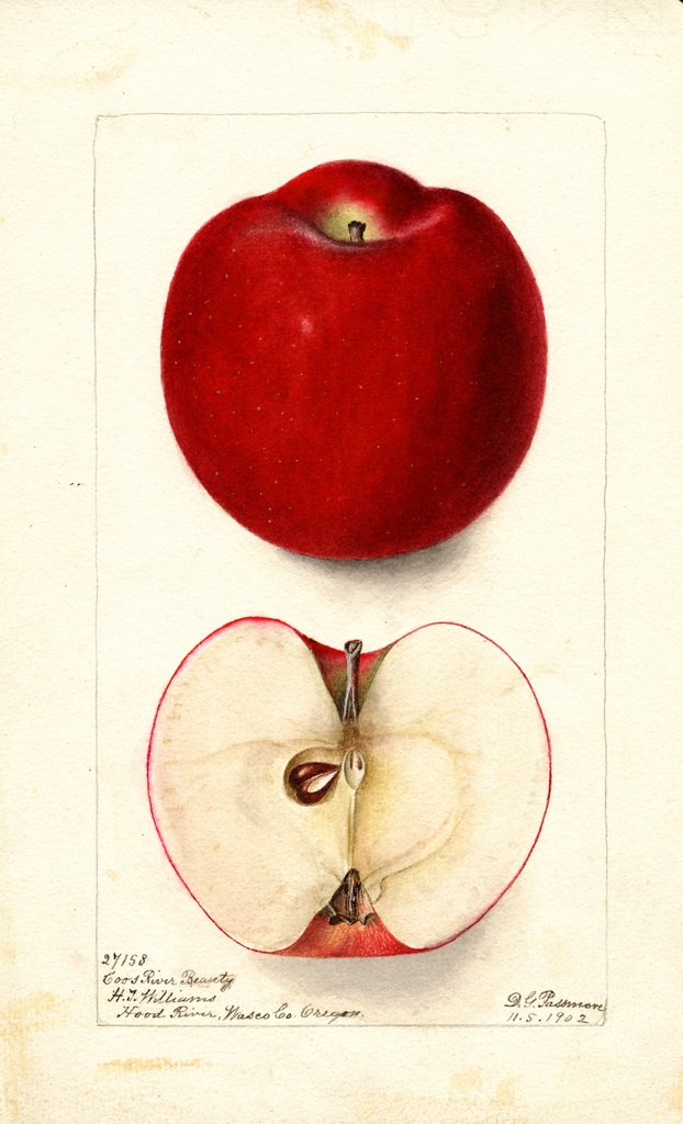 Apples, Coos River Beauty (1902)