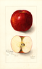 Apples, Coos River Beauty (1905)